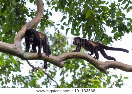 Howler Monkeys In Costa Rica  In Costa Rica