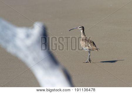 The Long-billed Curlew -numenius Americanus