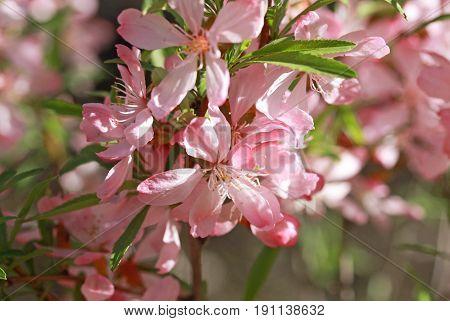 Flowering almond steppe (Prunus tenella) in Siberia
