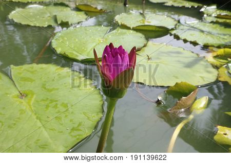 Water Lily Flowers and Pads Closeup Macro