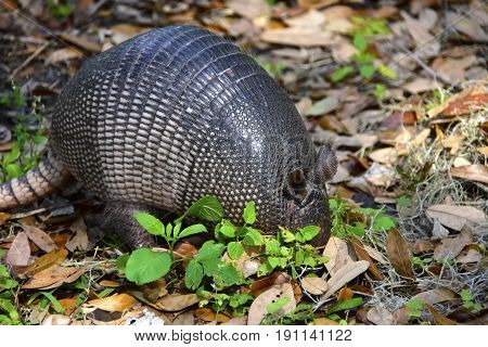 Nine Banded Armadillo foraging for food  in Florida.