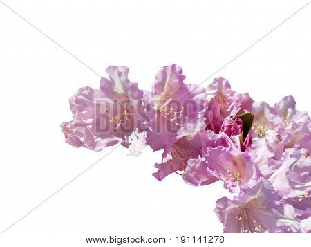 Pink rhododendron object white isolated with place for text.