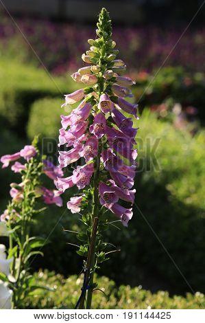 Long beautiful flower in garden in sunlight