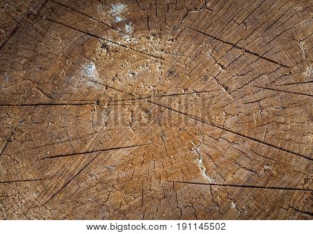 One cut of a tree. The stump is brown in color with cracks radial and circular