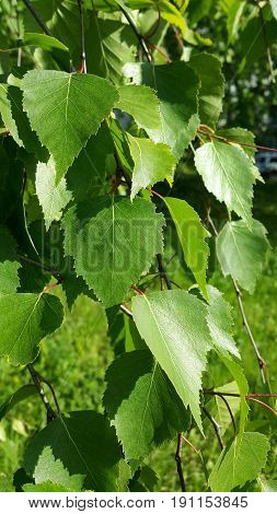 Beautiful branch of a spring birch tree with fresh foliage