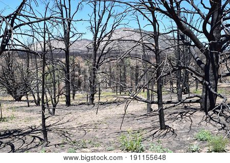 Charcoaled landscape with burnt Pine Trees caused from a wildfire taken in the Sierra Nevada Mountains, CA