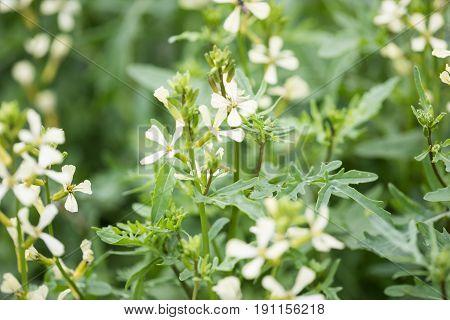 Arugula Flower. Eruca Lativa Plant. Rucola Blossom. Farmland Arugula. Rocket Salad. Food Spice And H
