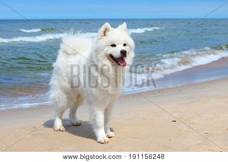 White dog Samoyed stands near the sea on a Sunny day