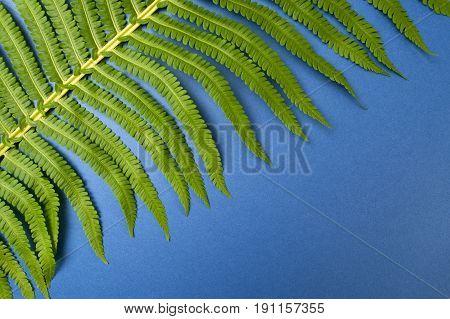 Large Leaf Of A Wild Fern Close-up On A Dark Blue Background..