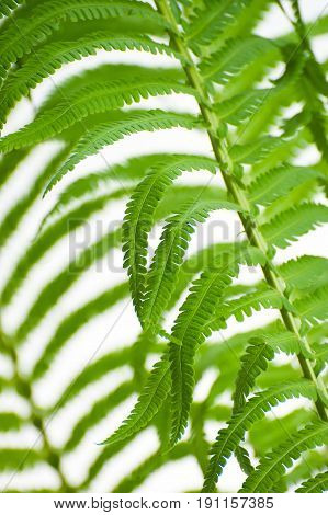 Young Wild Fern Leaves Close-up On A White Background..