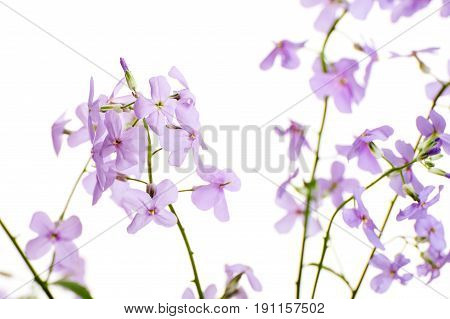 Delicate Flowers Of Hesperes (night Violet) On A Clean White Background..