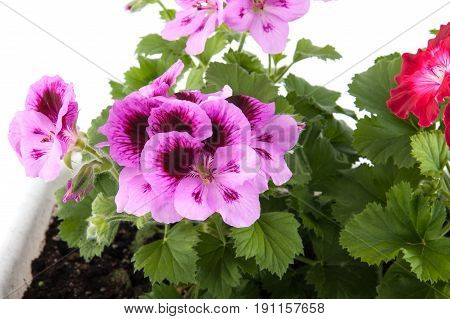 Pellargonium Flowers Growing In A Flowerpot Close-up..