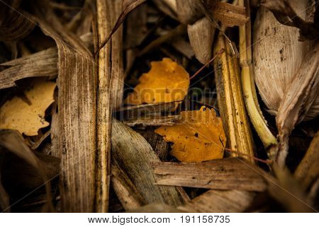 Yellow leaves and corn husks find their home along the paths of a corn maze in autumn