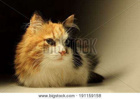 Calico cat close up. Tricolor cat with green eyes close-up portrait.
