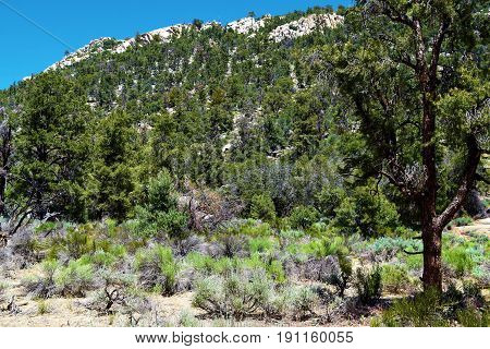 Pine Tree Forest surrounded by Sagebrush taken at a meadow in the Sierra Nevada Mountains, CA