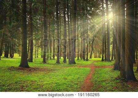 Green forest bright sunny day shines the rays of the sun. Trees in a green forest in summer with sun rays