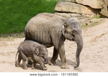 Elephant mother with baby elephant in zoo.