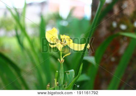 flor lirio amarillo con hojas verdes con fondo desenfocado