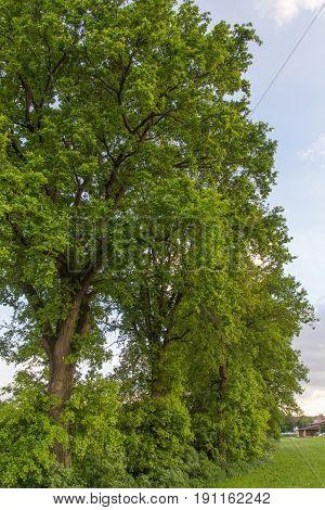 a big tree in bavaria in spring