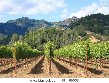 Rows of wine grape plants lead the way toward beautiful natural mountains in the background on a partly cloudy day.
