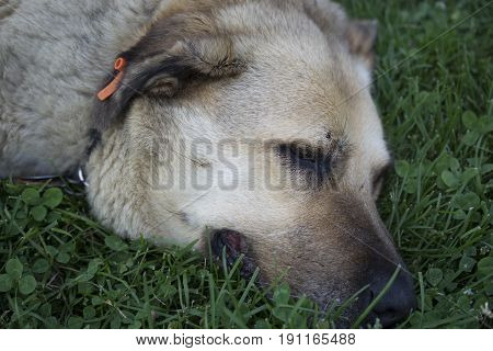 Calm sleepy tired street dog. Sleeping on the grass