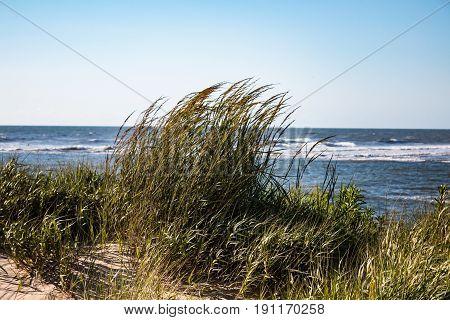 Beach grass growing in the sand with an ocean background in Virginia Beach, Virginia.