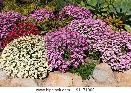 A colorful collection of Osteospermum African daisies in a garden in Southern California.