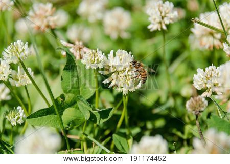 Clover with a bee. White clover. The bee pollinates a clover in the field.