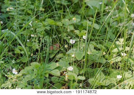 Blossoming Of Strawberry. Strawberry Blossoms In The Field.
