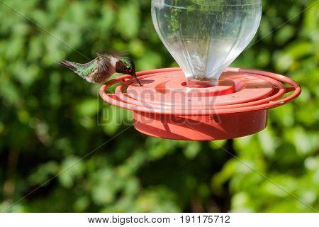 Feeding hungry hummingbird in Cashiers, NC mountains