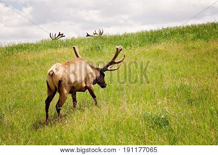Bull elk rising green hill towards silhouette of antlers against blue skies