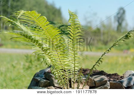 The Fern Grows In A Bed. Fern.