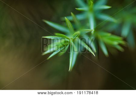 Green Needle Leaves Of The Pine Tree With A Beautiful Bokeh