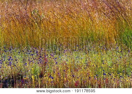 Utricularia delphinoides Thor.ex Pell. flower mix field yellow grass at Mukdahan Nation Park Thailand.