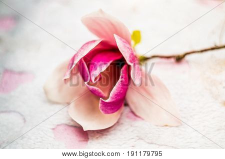 Pink Rose On The Pink Soft Rug