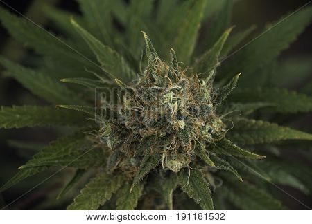 Close up detail of Cannabis cola (black russian marijuana strain) with visible hairs, trichomes and leaves on late flowering stage