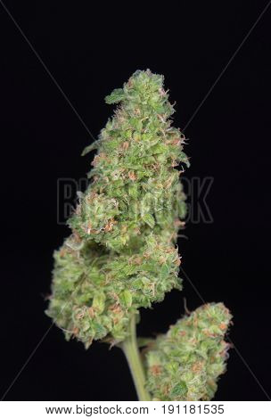 Detail of trimmed cannabis bud (green crack marijuana strain) ready to harvest - isolated over black background