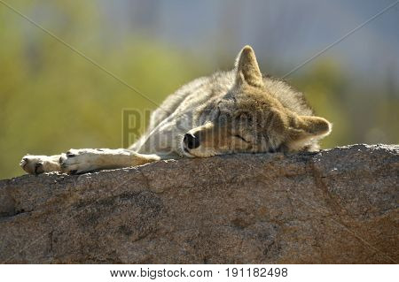 Coyote Napping on a Rock in the Desert