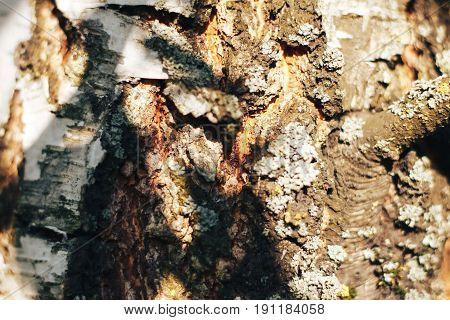 birch bark texture natural background paper close-up birch tree wood texture