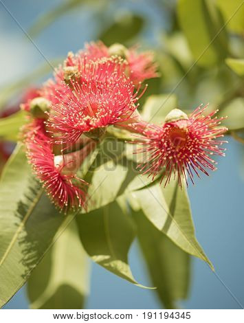 Australian native flowering gum tree with red flowers and green foliage against blue sky