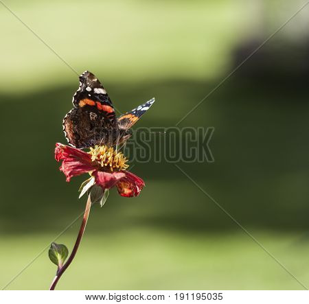The red admiral, butterfly on a red flower. Green, fuzzy background.