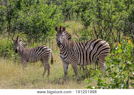 Burchels zebra mother and foal looking at the camera