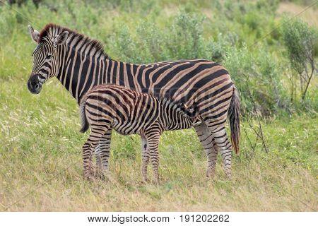 Burchels zebra (Equus zebra zebra) mother and foal feeding