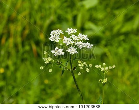 Cow Parsley or Wild Chervil Anthriscus sylvestris flower clusters macro selective focus shallow DOF.