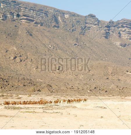 In Oman  Free Dromedary