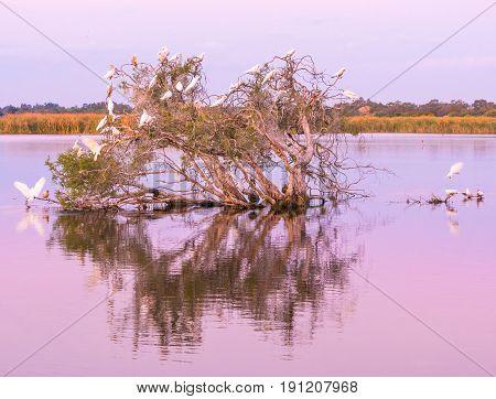 Little Pied Corellas on a tree at dusk in Herdsman Lake in Perth, Western Australia.