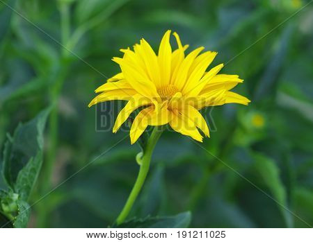 Marigold yellow flower petals at the base of dark-yellow at the edges light-yellow. Macro photo.