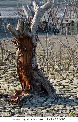Global Warming Concept, Dead Tree