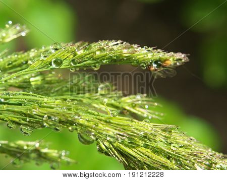 Closeup of grass spikes with water drop and insect after rain or morning dew.