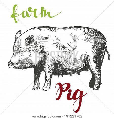 farm, pig hand drawn vector illustration realistic sketch